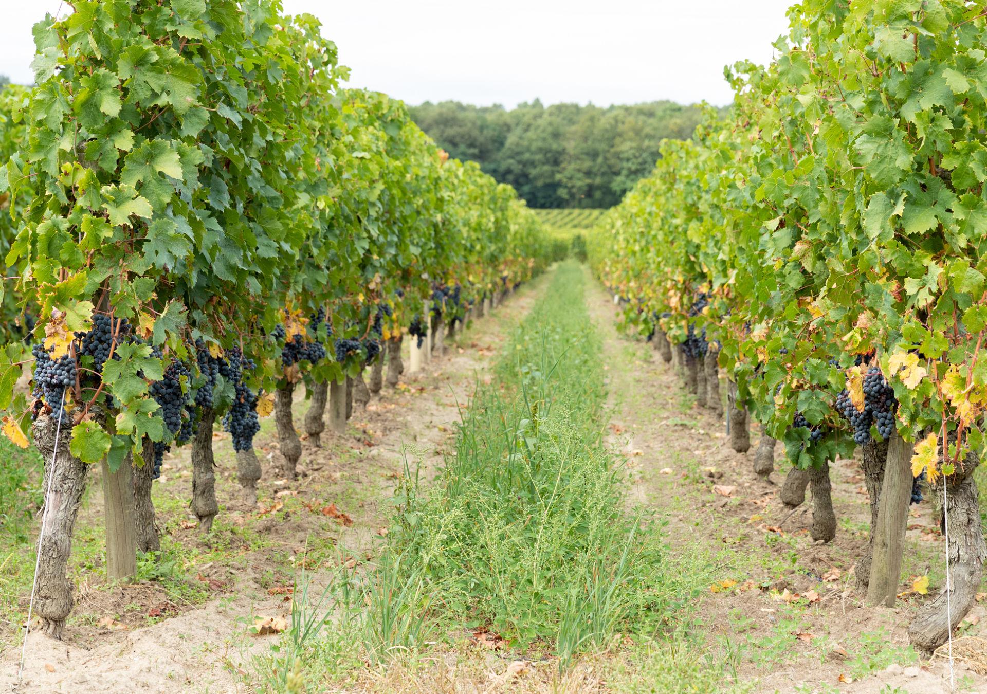Vignoble bourgueil vendange cabernet franc