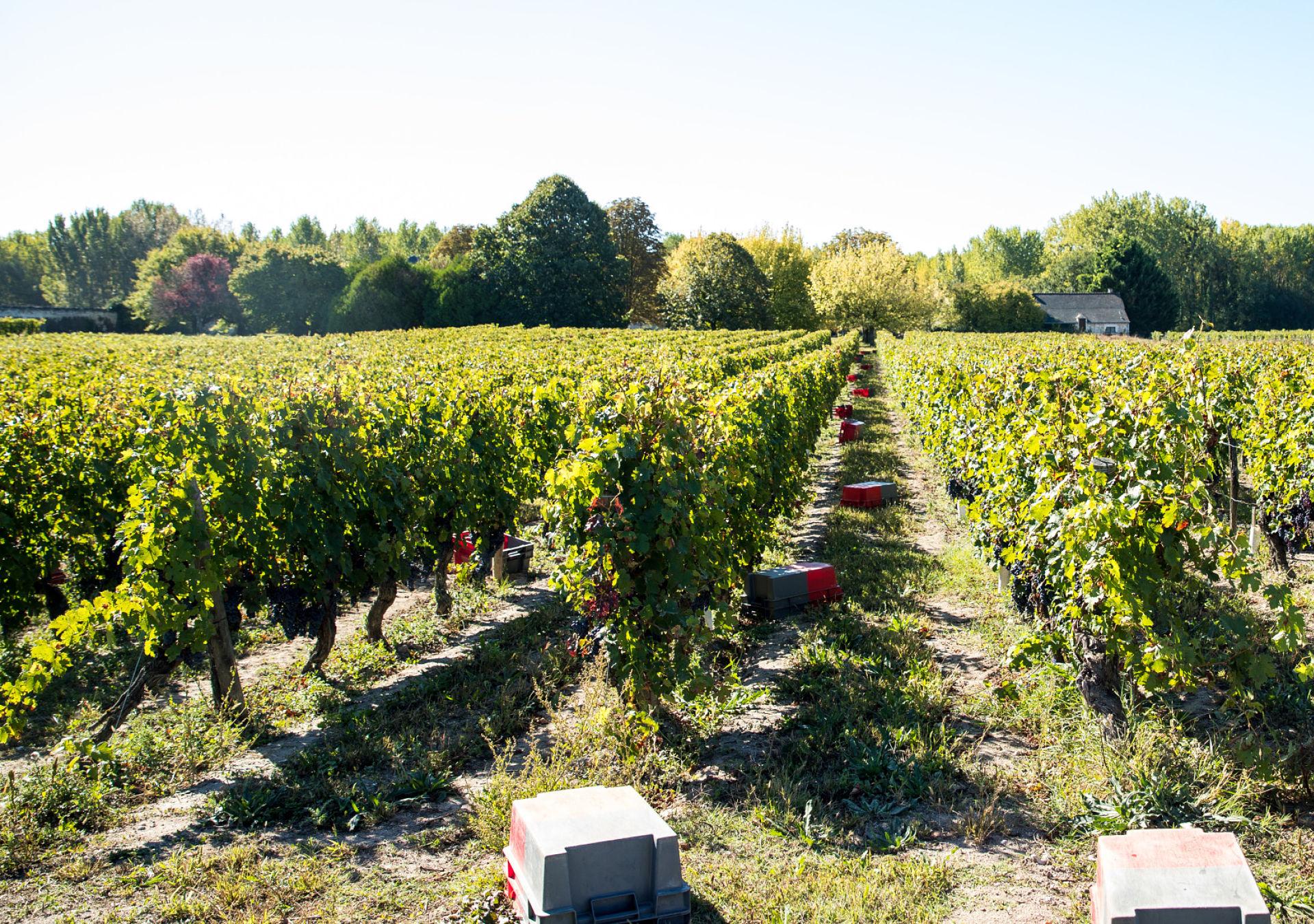 vignoble bourgueil cabernet franc vendanges